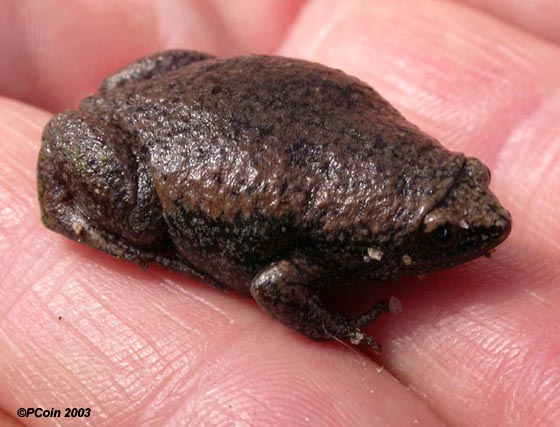 The Eastern narrow-mouthed toad is a small and innocuous little beast.