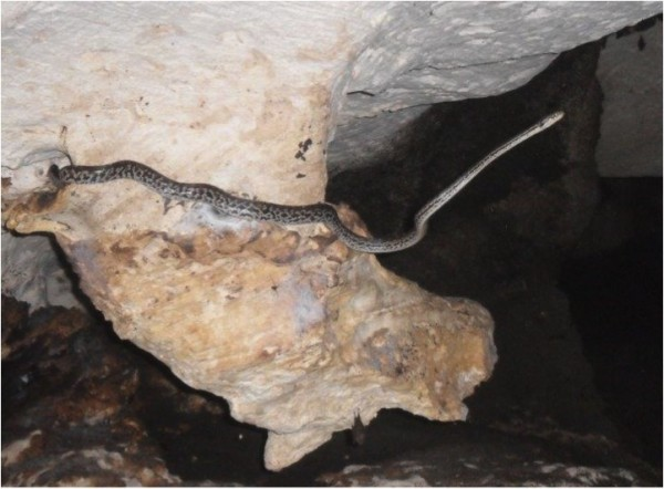 Photos 1 & 2. Chilabothrus striatus strigilatus from Long Island. This individual was found in a cave snooping around for bats. In this photo, the snake is clearly reaching out to find roosting bats. Photo: Ali Ball.