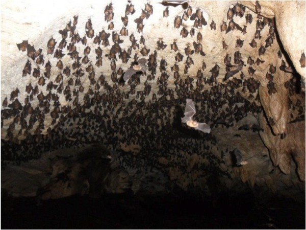 Photo 3. Caves like this one on Long Island can contain thousands of bats, an irresistible resource for agile predators like boas. Photo: Ali Ball.