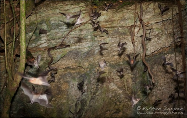 Puerto Rican boas snatching bats from the mouth of a cave in PR. Photo: Nathan Dappan, Days Edge Productions.