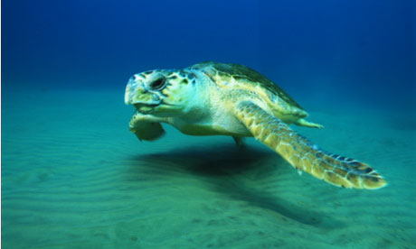 A loggerhead turtle from the linked article.