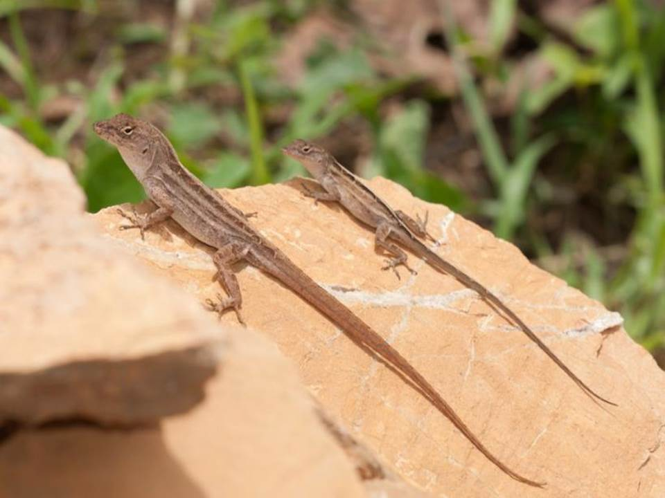 Brown-Anole.jpg