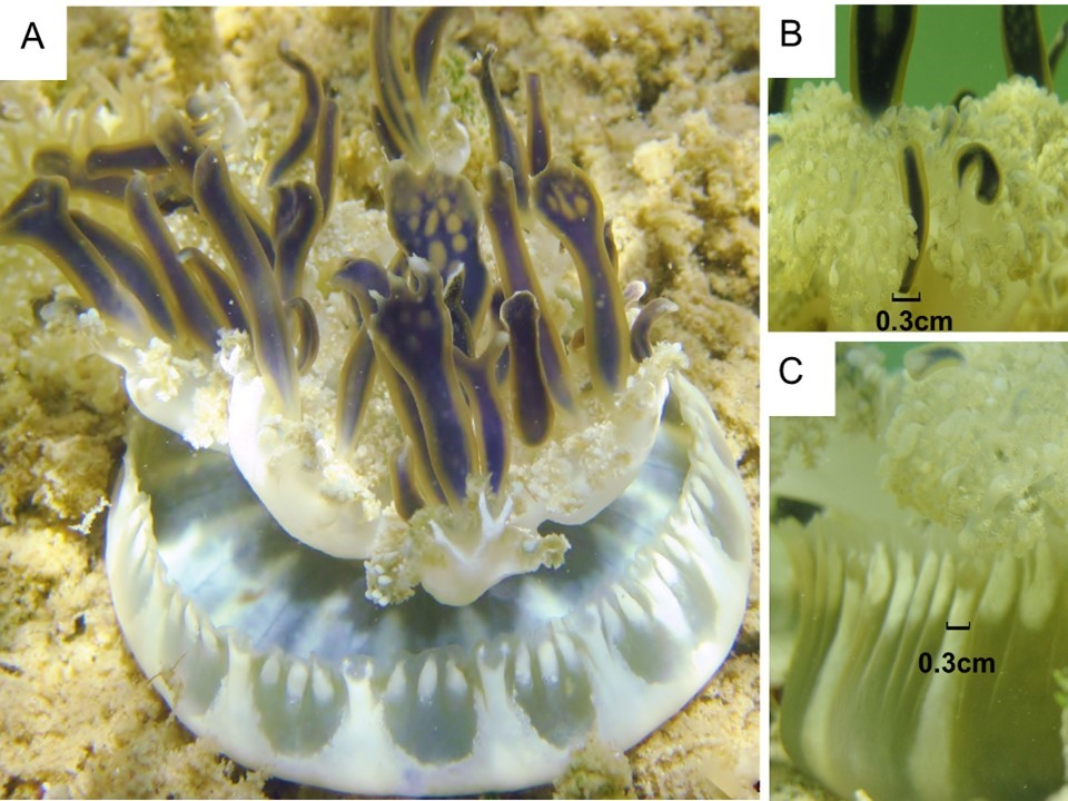 Jellyfish research paper