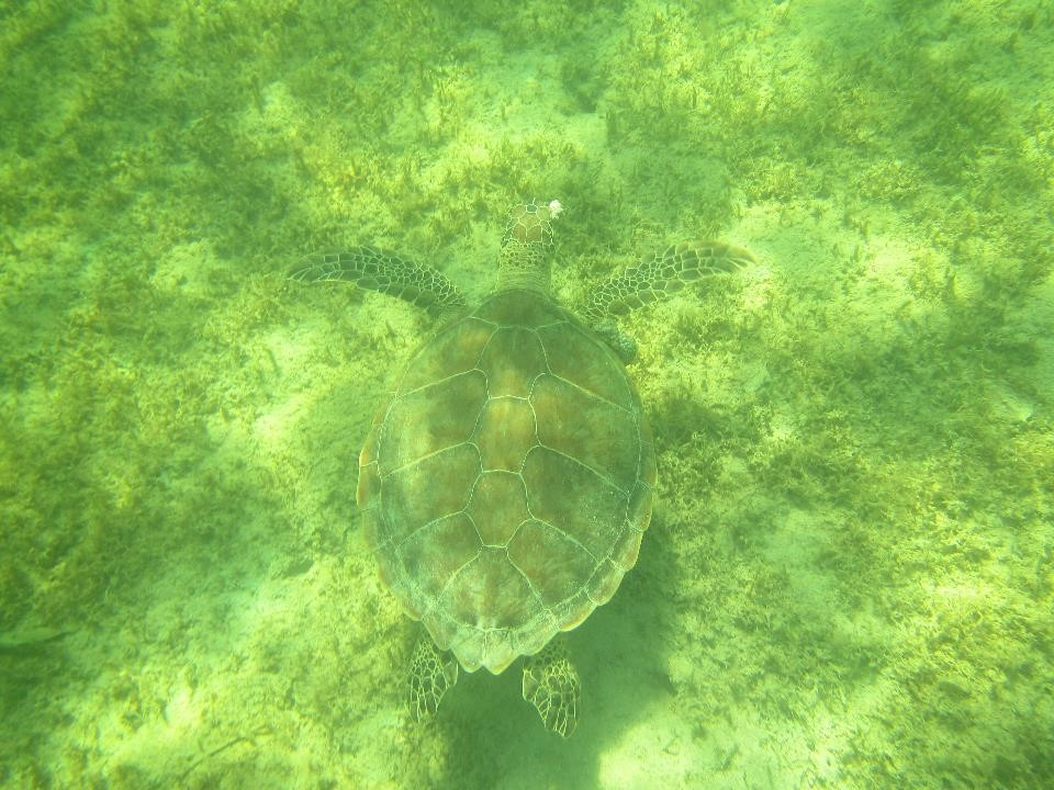 July 2014: Green turtle at Frost Bite Blue Hole in The Bight of Old Robinson; tumors are visible on both eyes and right shoulder; this turtle is likely blind in its right eye as it did not react to my presence until I moved to its left side