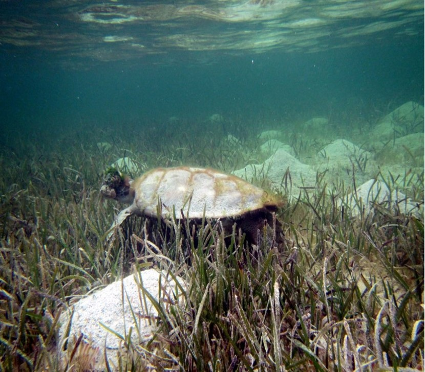 July 2013: Green turtle at Sandy Point; a large tumor is visible on the right side of the head; other signs of poor health possibly caused by the disease include shallow body depth and algal growth on its carapace Photo credit: Stephanie Archer