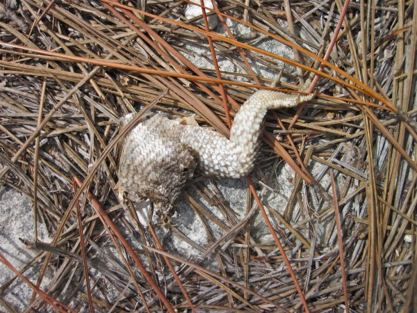 The remains of a northern curly-tailed lizard (Leiocephalus carinatus) from Abaco's 'mainland' pine forest.