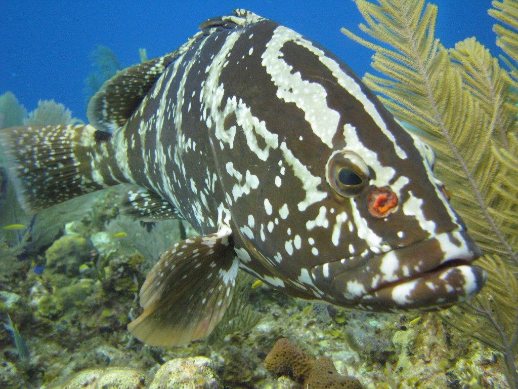 MPAs are an important management tool for intensively harvested fishes such as grouper.