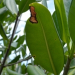 Diseased mangrove leaf in Jamaica