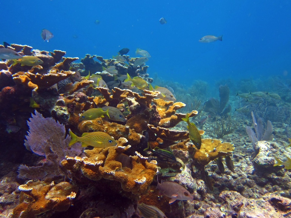 Reef in the Keys dominated by snappers and grunts.