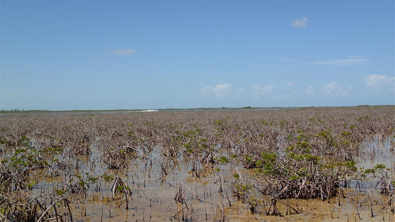thesis about mangroves Mangroves this essay mangroves and other 64,000+ term papers, college essay examples and free essays are available now on reviewessayscom autor: review • october 20, 2010 • essay • 1,302 words (6 pages) • 957 views.
