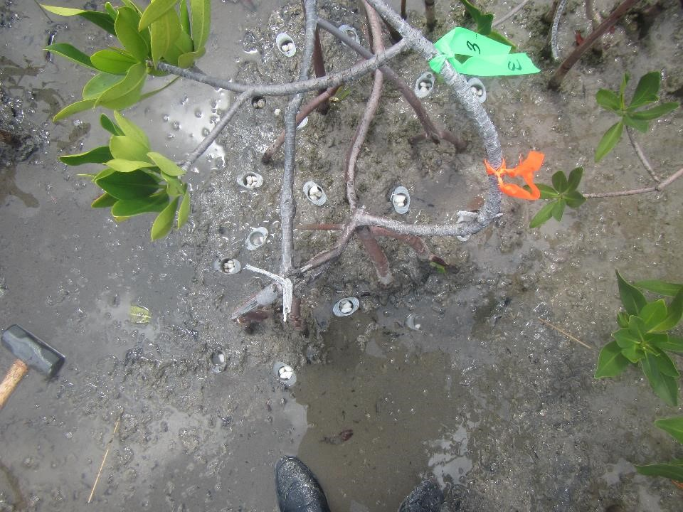 Syringes filled with salt pellets near the roots of a flagged red mangrove tree.