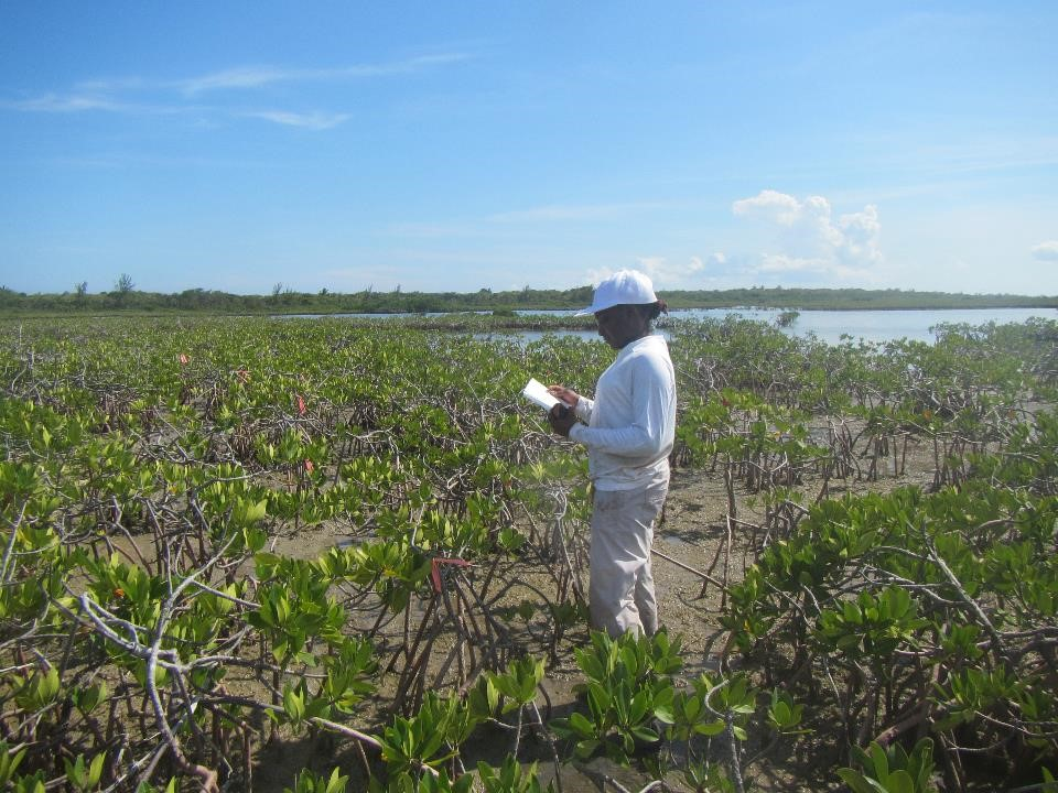 Abigail collecting data for red mangroves at the experiment site.
