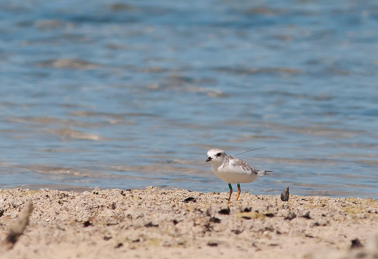 Tagged Plover