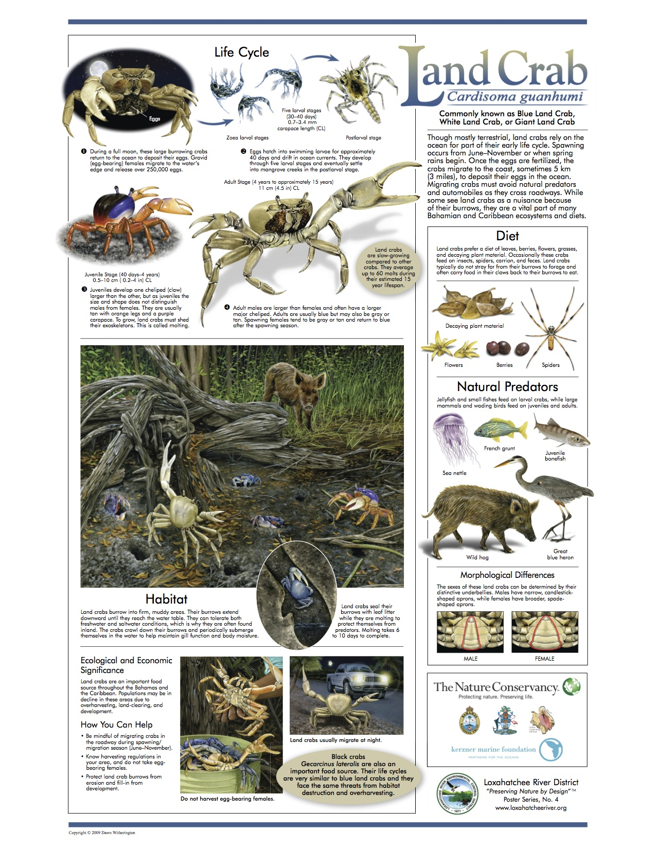 blue-land-crab-loxahatchee-poster-jpg