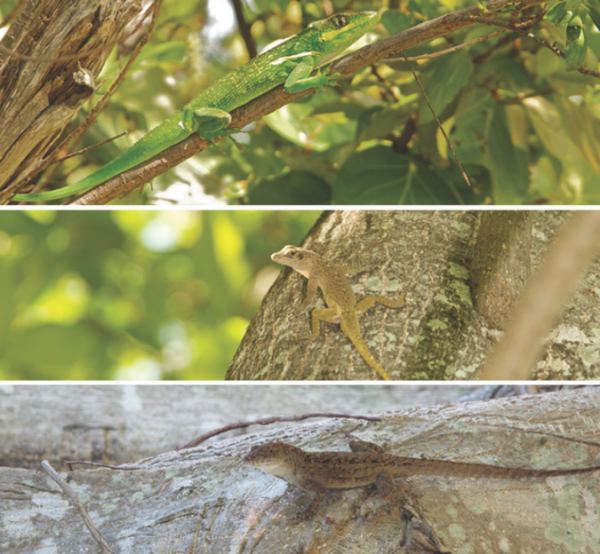 The three species of lizards we studies in our paper: Knight Anoles (top), Bark Anoles (middle) and Brown Anoles (bottom).