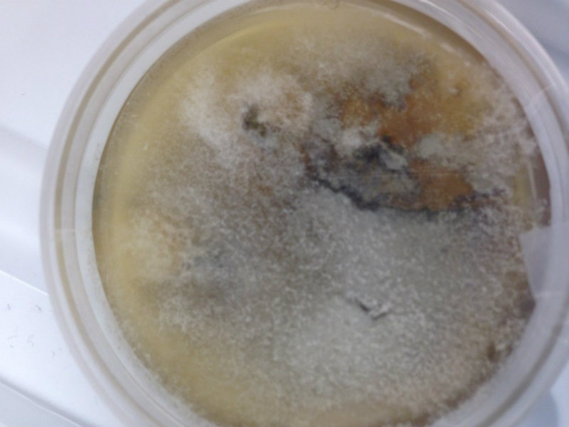 gray fungal colony