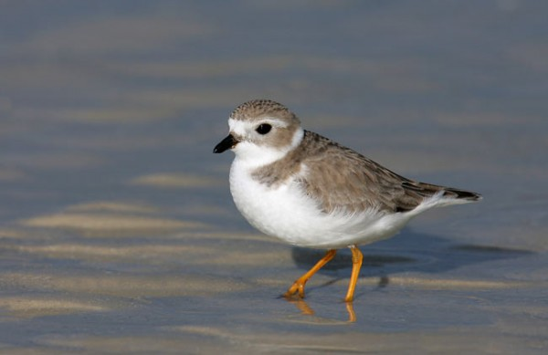 piping plover research paper Paper describes the testing, application, and efficacy of a smartphone application designed to collect data on piping plover habitat to feed into predictive models.