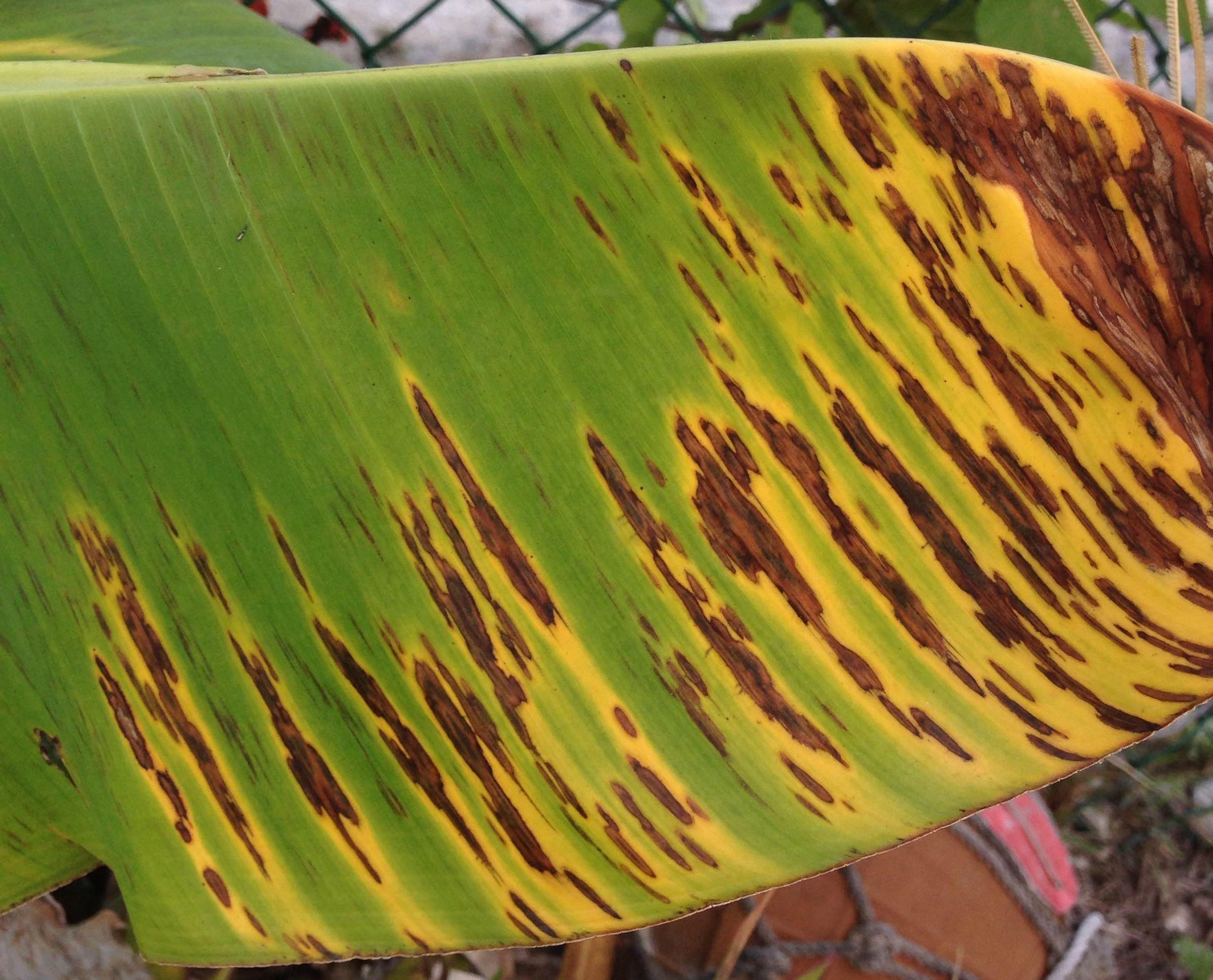 Sigatoka on banana leaf