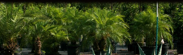 Palms and other ornamental plants are shipped around the world, and can contain stow-aways.