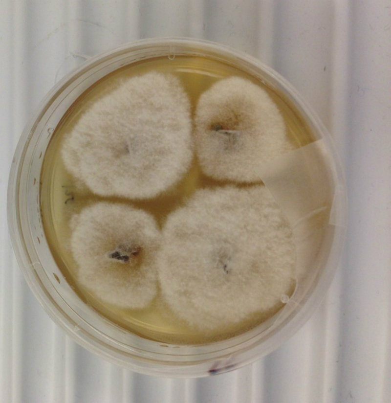 white fungal colonies