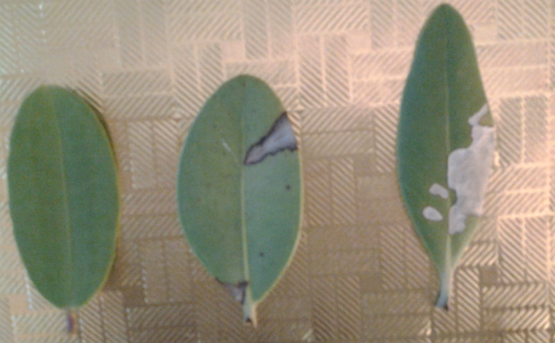 Diseased mangrove leaves. They appear to be white and/or black mangrove leaves.