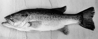 Figure 3. Largemouth Bass