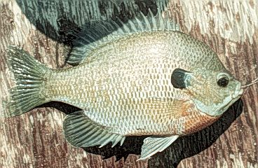 Figure 4. Bluegill
