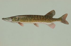 Chain Pickerel (Jackfish)