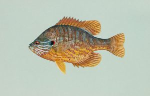 Pumpkinseed Sunfish (Brim)